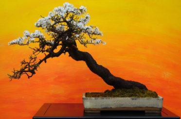 Бонсай в интерьере: селим и ухаживаем за японским чудом