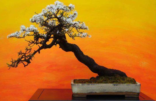 bonsai tree img01 543x350 - Бонсай в интерьере: селим и ухаживаем за японским чудом