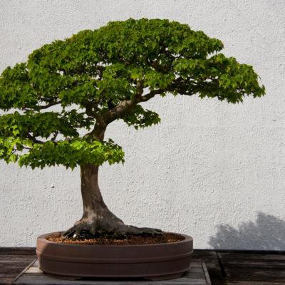 Бонсай в интерьере: селим и ухаживаем за японским чудом - фото 8
