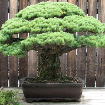 Бонсай в интерьере: селим и ухаживаем за японским чудом - фото 10
