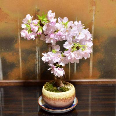 Бонсай в интерьере: селим и ухаживаем за японским чудом - фото 37